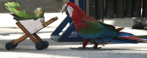 And speaking of ridiculous, have a parrot pushing a baby carriage.